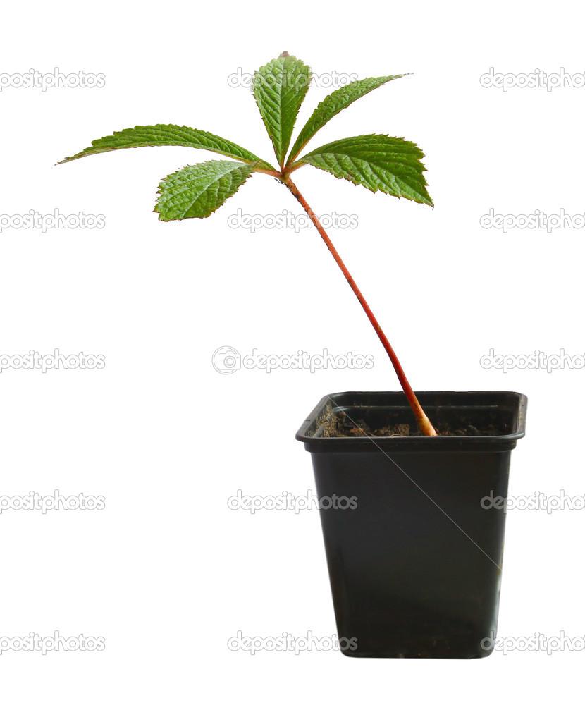 Ipastock elleboro in un vaso di fiori su sfondo bianco for Elleboro bianco