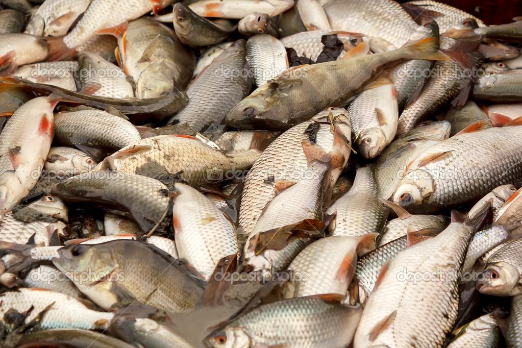 Ipastock pesci d 39 acqua dolce pescato nel laghetto di pesca for Quali pesci mettere nel laghetto