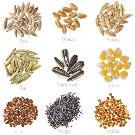 Collezione Cereali e Sementi: Segal...