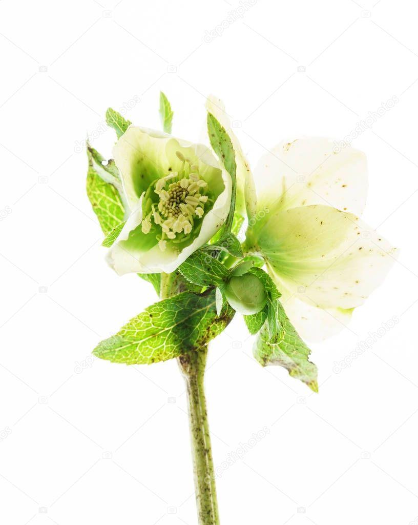 Ipastock fiore di elleboro nero su bianco for Elleboro bianco