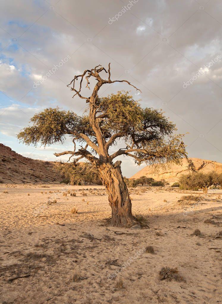 Ipastock albero nel letto del fiume di un affluente del fiume swakop namibia - Letto di un fiume ...