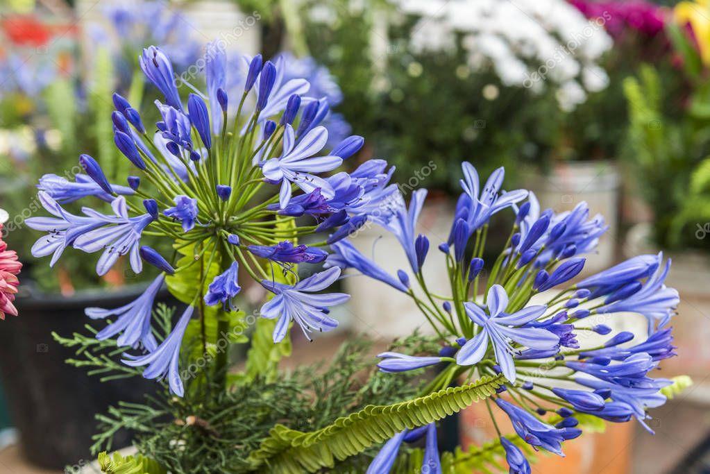 Ipastock fiori ornamentali per la vendita sul mercato di for Fiori ornamentali