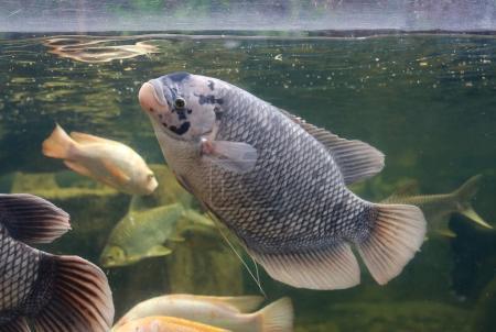 Ipastock nuoto in uno stagno dei pesci gurami gigante for Pesci stagno