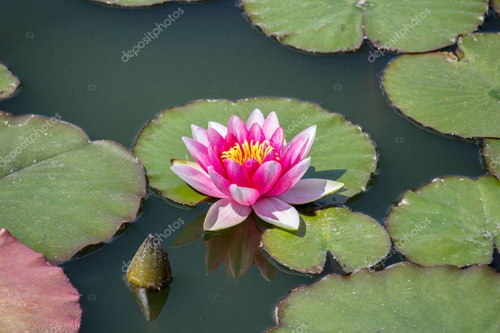 Ipastock fiore rosso del giglio di acqua sulla foglia for Piccolo stagno