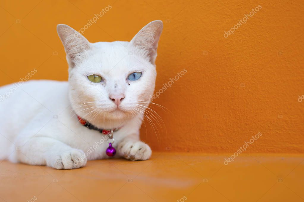 Ipastock gatto ha due occhi diversi colori - Occhi colori diversi ...