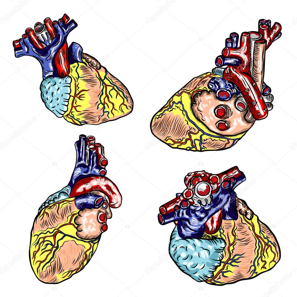 Ipastock - Set di cuore umano disegnato anatomicamente a ...